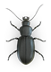 Ground-Beetle-Top-View
